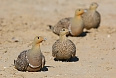 We'll find many creatures well-adapted to the arid environment, such as Namaqua Sandgrouse.