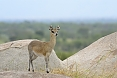 With its very tall hooves and nimble qualities, the Klipspringer is well suited for life along steep slopes in Augrabies.