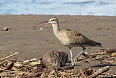 Whimbrel and coconut (Photo by: Ian Shanahan)