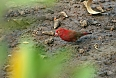 Red-billed Firefinch (Photo credit: Justin Peter)