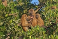 Guinea Baboons in the mangroves (Photo credit: Justin Peter)