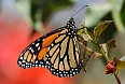 Closeup of the Monarch Butterfly