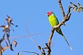 We may see Plum-headed Parakeets in wooded areas (photo: Justin Peter)