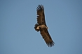 The Cinerous Vulture is a visitor to Rajasthan's arid regions during the dryer months (photo: Justin Peter)