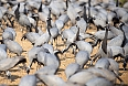 Demoiselle Cranes (Photo by: Justin Peter)