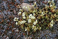 Tufted Saxifrage (Photo by: Barry Griffiths)