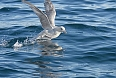 Northern Fulmar (Photo by: Robert R. Taylor)