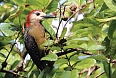Jamaican Woodpecker at Marshall's Pen (Photo by: Ann Haynes-Sutton)