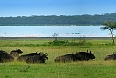 Herd of Buffalo at Lake Nakuru