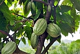 The Dominican Republic is one of the largest cacao producers and exporters in the world!