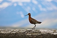 Black-tailed Godwit (Phoot by: Sherry Kirkvold)