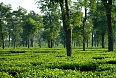 Tea garden in Dibrugarh (Photo by: Nborkakoty)