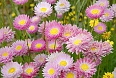 Pink Paper Daisy (Photo credit: Gary Lewis)