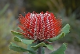 Scarlet Banksia (Photo credit: Gary Lewis)