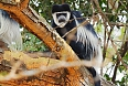 Colobus monkey at Nakuru Lake