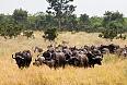 Buffaloes in Kruger National Park