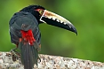 The gaudy Collared Aracari is one of three species of toucan we are likely to see.