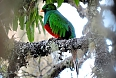 White-tipped Quetzal in Santa Marta