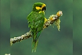 Yellow-eared Parrot (Photo credit: Francesco Veronesi)