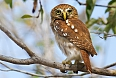Ferruginous Pygmy-Owl (Photo credit: Josh Vandermeulen)