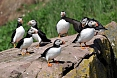 We'll visit the largest colony of Atlantic Puffins in North America at Witless Bay! (photo: Dave Milsom)