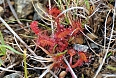 Among the carnivorous plants we may find sundew in boggy situations. (photo: Dave Milsom)