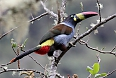 Gray-breasted Mountain-Toucan (Photo credit Dominic Sherony on Wikimedia)