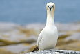 Northern Gannet, Machias Seal Island