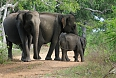 Elephants at Yala National Park