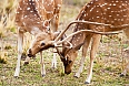 Chital is the most abundant deer species in India and an important prey for large cats.
