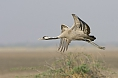 A Common Crane. We can expect to see three crane species on this tour.  (© Justin Peter)