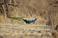 India's National Bird, the Indian Peafowl (© Justin Peter)