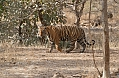 The Bengal Tiger at Ranthambore is always a treat (© Justin Peter)