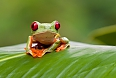 Find unfamiliar creatures, like the Red-eyed Tree Frog